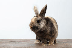 Cute Little rabbit, Brown Fur Sitting on Wood, white Background. Cute Little rabbit with Brown Fur Sitting on Wood, white Background Stock Photos