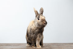 Cute Little rabbit, Brown Fur Sitting on Wood, white Background. Cute Little rabbit with Brown Fur Sitting on Wood, white Background Royalty Free Stock Images