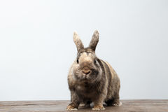 Cute Little rabbit, Brown Fur Sitting on Wood, white Background. Cute Little rabbit with Brown Fur Sitting on Wood, white Background Stock Photo