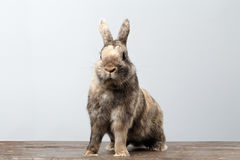 Cute Little rabbit, Brown Fur Sitting on Wood, white Background. Cute Little rabbit with Brown Fur Sitting on Wood and frightened, white Background Royalty Free Stock Images