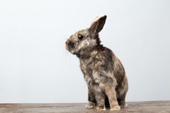 Cute Little rabbit, Brown Fur Sitting on Wood, white Background. Cute Little rabbit with Brown Fur Sitting on Wood and frightened, white Background Royalty Free Stock Photos