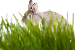 Cute little rabbit hiding in green grass. Cute little rabbit or Easter bunny hiding in fresh green spring grass peering over the top keeping an eye on the camera Royalty Free Stock Photography