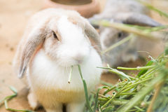 Cute little rabbit eating fresh grass Stock Images