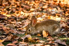 Cute little rabbit eating grass. And surrounded by autumn leaves in a natural environment Royalty Free Stock Photo