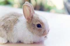 Cute Little rabbit. Little rabbit hare cute fluffy bunny domestic animal pet Royalty Free Stock Photography