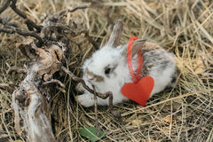 Cute little rabbit with heart. Of pink paper with ribbon on ear and exposed roots on hay on natural background Royalty Free Stock Image