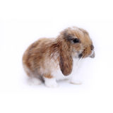 Cute little rabbit. Isolated on white Royalty Free Stock Photo