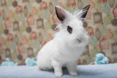 Cute white baby bunny rabbit lionhead. Cute little rabbit lionhead on a white backgrounf stock photos