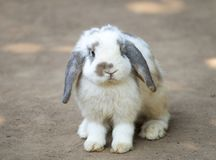 Cute little rabbit. With long floppy ears standing on the ground. Selective focusing. A lop-eared rabbit creamy white bunny easter animal pet background spring stock image