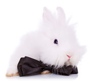 Cute little rabbit  with neck bow. Cute little rabbit wearing a neck bow on white background Stock Photography