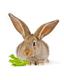 Cute little rabbit with a piece of green. Baby rabbit shot on white. (6 weeks old Flemish Giant Royalty Free Stock Images