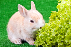 Cute little rabbit and salad. One cute little brown rabbit eating salad Royalty Free Stock Photos
