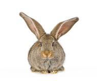 Cute little rabbit shot frontal. Baby rabbit shot on white. (6 weeks old Flemish Giant Royalty Free Stock Photo