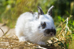 Cute and little rabbit sitting on stone. And eating grass Stock Photos