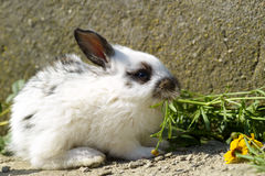 Cute and little rabbit sitting on stone. And eating grass Royalty Free Stock Photography