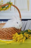 Cute baby bunniy sitting in a wooden basket on the table with flowers royalty free stock photo