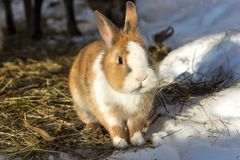 Cute little rabbit on straw in the snow. A cute little rabbit on straw in the snow Stock Image