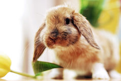 Cute little rabbit. With tulips Stock Photography