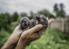 Cute little rabbits in human's hands Royalty Free Stock Images