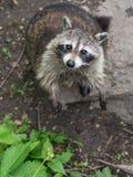 Cute Little raccoon Stock Photography