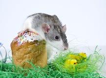 Cute little rat. Stock Image