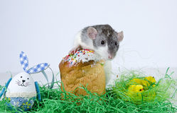 Cute little rat. Royalty Free Stock Photo