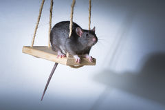Cute little rat on a swing Royalty Free Stock Image