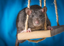 Cute little rat on a swing Stock Photography