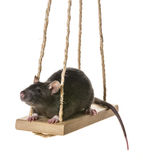 Cute little rat on a swing Royalty Free Stock Photography