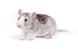 Cute little rat on white background Royalty Free Stock Photography