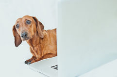 Cute little red dog with laptop on white royalty free stock photos