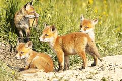 Cute little red fox cubs in natural environment. Vulpes Stock Photo