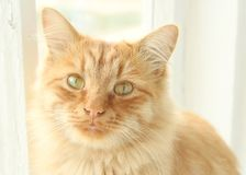 Cute little red ginger cat watching you royalty free stock image