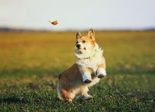 Cute little red-haired Corgi puppy runs around the green meadow and fun trying to catch a flying butterfly on a Sunny day royalty free stock photography