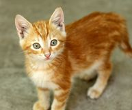Cute little red kitten Stock Photography