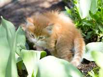 Cute little red kitten Stock Image