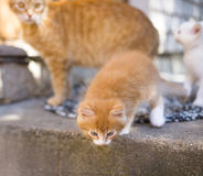 Cute little red kitten Royalty Free Stock Photo
