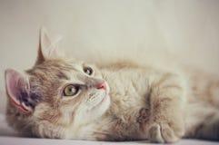 Cute little red kitten Royalty Free Stock Photos