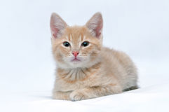 Cute little red kitten looking at the camera Stock Photos