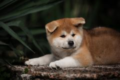 Cute little red puppy akita lie on the stone stock photo