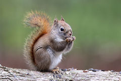 Cute Little Red Squirrel Royalty Free Stock Photography