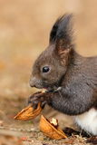 Cute little red squirrel eating nut Royalty Free Stock Photos