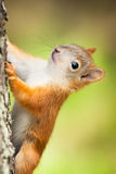 Cute little red squirrel Royalty Free Stock Image