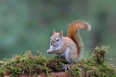 Cute Little Red Squirrel on a mossy branch in the Forest royalty free stock photo