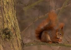 Cute little Red Squirrel in a pinetree. Red squirrel Sciurus vulgaris sitting in a pinetree and enjoying a cone Stock Images