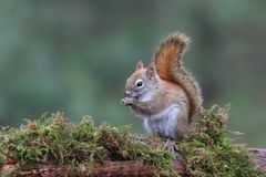 Cute Little Red Squirrel sitting on a mossy branch in the Forest stock image