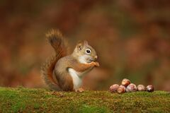 Free Cute Little Red Squirrel Sitting On A Branch Eating Acorns In Fall Stock Photos - 200242913