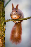 Cute little red squirrel sitting on the tiny tree branch Royalty Free Stock Photo