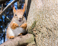 Cute little red squirrel sitting on tree branch on blurred fores Royalty Free Stock Photography