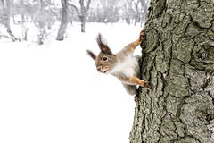 Cute little red squirrel sitting on tree trunk in winter forest Royalty Free Stock Image
